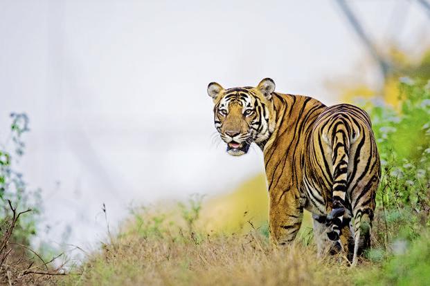 tiger1-kJHC--621x414@LiveMint